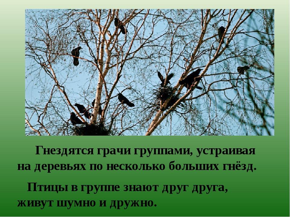 Гнездятся грачи группами, устраивая на деревьях по несколько больших гнёзд....