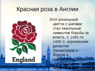 Красная роза в Англии Этот роскошный цветок с шипами стал невольным символом