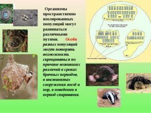 Организмы пространственно изолированных популяций могут развиваться различны