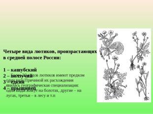 Четыре вида лютиков, произрастающих на одной территории в средней полосе Рос