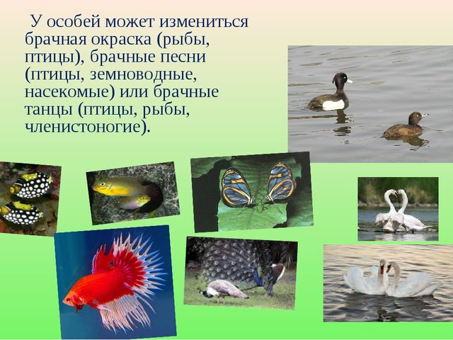 У особей может измениться брачная окраска (рыбы, птицы), брачные песни (птиц...