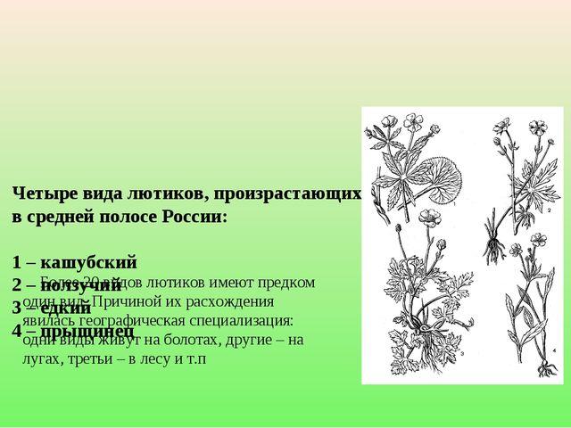 Четыре вида лютиков, произрастающих на одной территории в средней полосе Рос...