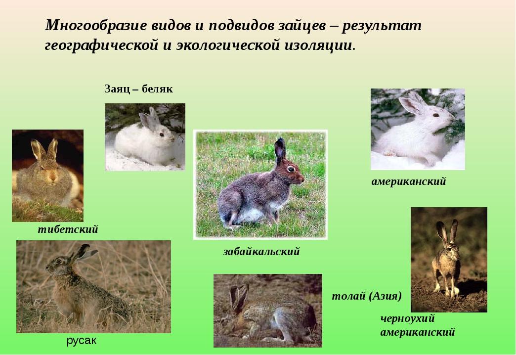 американский Заяц – беляк забайкальский черноухий американский тибетский тол...
