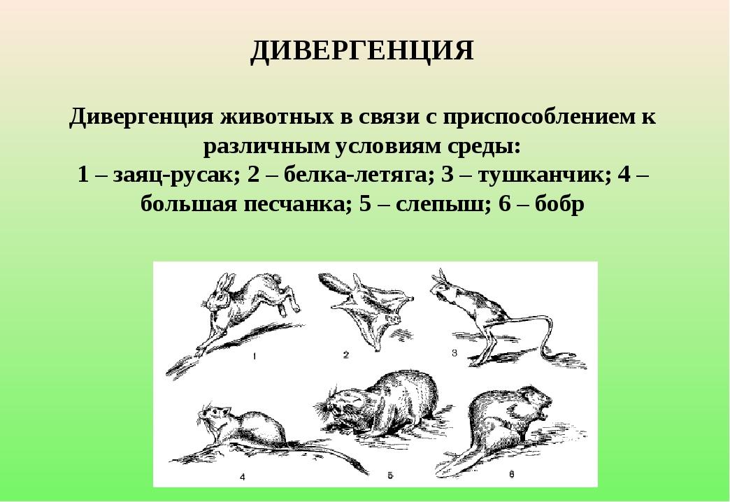 ДИВЕРГЕНЦИЯ Дивергенция животных в связи с приспособлением к различным услов...