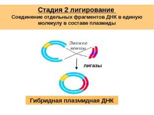 Стадия 2 лигирование Соединение отдельных фрагментов ДНК в единую молекулу в