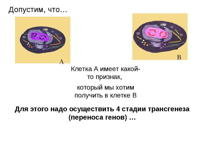 Для этого надо осуществить 4 стадии трансгенеза (переноса генов) … Клетка А и...