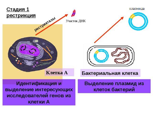 Участок ДНК Клетка А Идентификация и выделение интересующих исследователей ге...