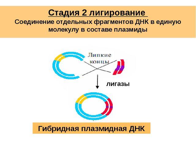 Стадия 2 лигирование Соединение отдельных фрагментов ДНК в единую молекулу в...