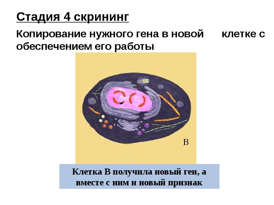 Клетка В получила новый ген, а вместе с ним и новый признак В Стадия 4 скрини...