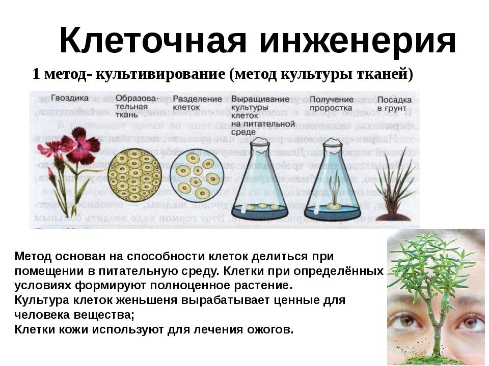 1 метод- культивирование (метод культуры тканей) Клеточная инженерия Метод ос...
