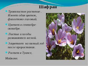 Травянистое растение . Имеет один цветок, фиолетово-лиловый. Цветет в сентябр