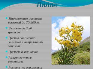 Лилия Многолетнее растение высотой до 70-200см. В соцветии 3-20 цветков. Цвет
