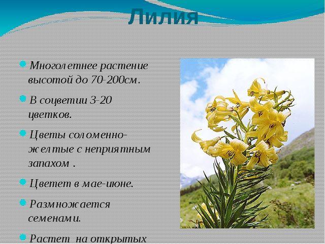 Лилия Многолетнее растение высотой до 70-200см. В соцветии 3-20 цветков. Цвет...