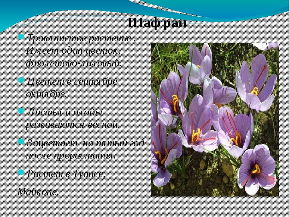 Травянистое растение . Имеет один цветок, фиолетово-лиловый. Цветет в сентябр...