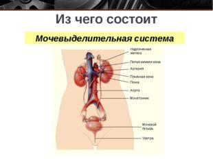 Из чего состоит мочевыделительная система?