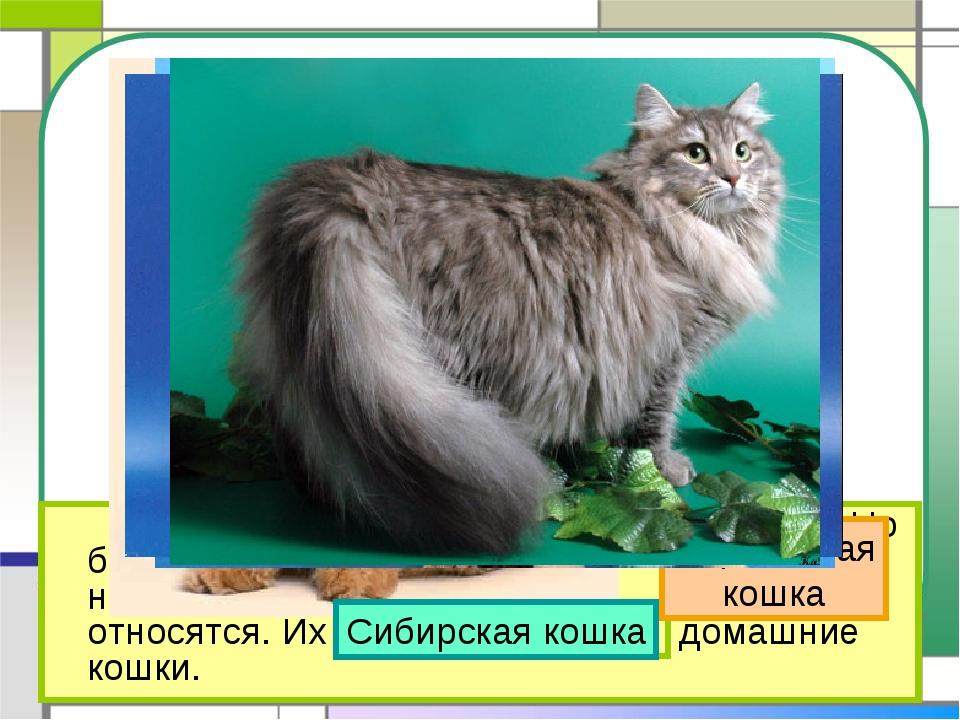 На свете около 60 разных пород кошек. Но большинство тех кошек, которые жив...