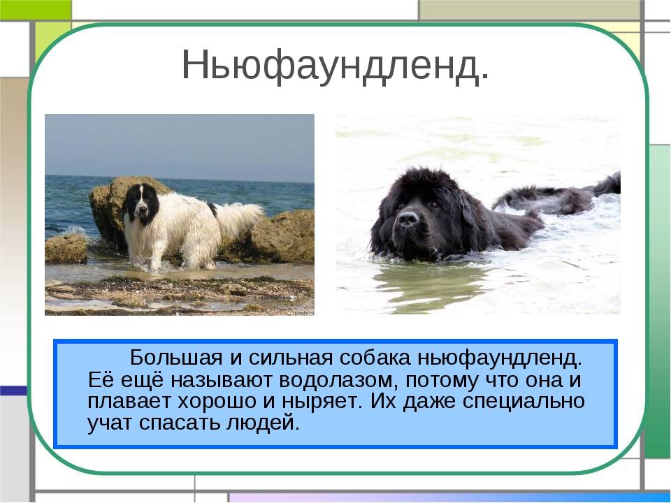 Ньюфаундленд. Большая и сильная собака ньюфаундленд. Её ещё называют водола...