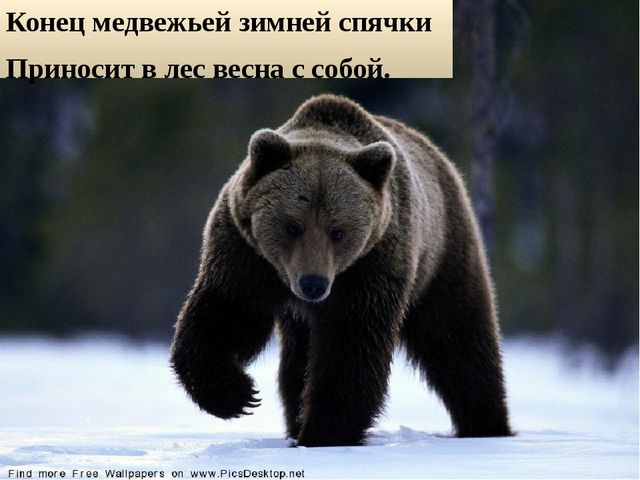 Конец медвежьей зимней спячки Приносит в лес весна с собой.