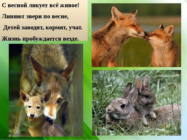 С весной ликует всё живое! Линяют звери по весне, Детей заводят, кормят, учат...