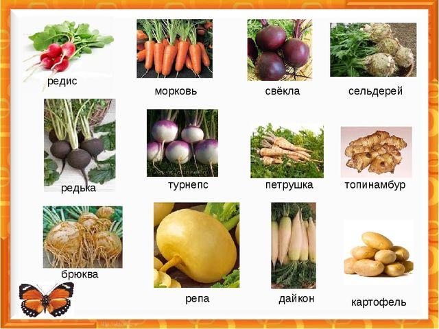 редис морковь свёкла сельдерей турнепс редька петрушка топинамбур брюква реп...