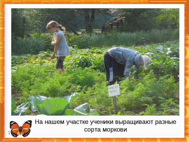 На нашем участке ученики выращивают разные сорта моркови