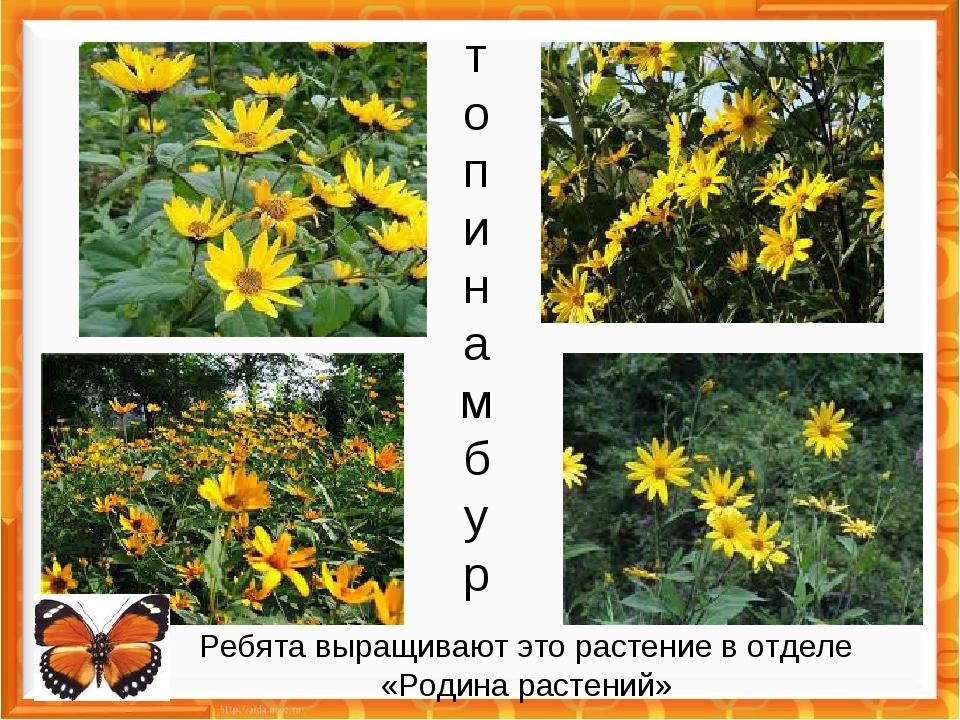 топинамбур Ребята выращивают это растение в отделе «Родина растений»