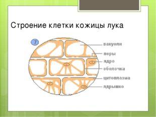 Строение клетки кожицы лука