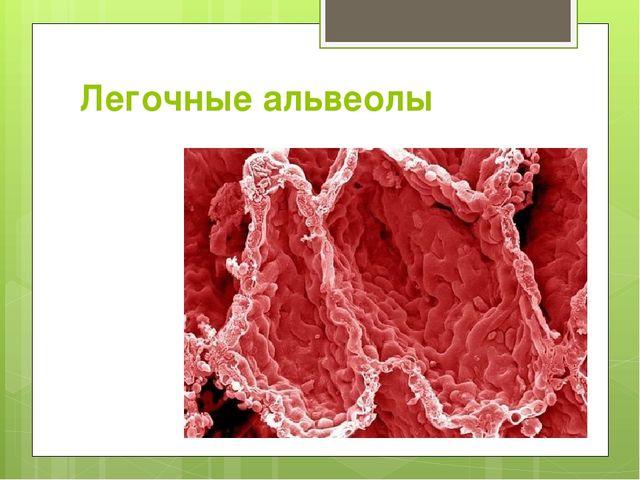Легочные альвеолы