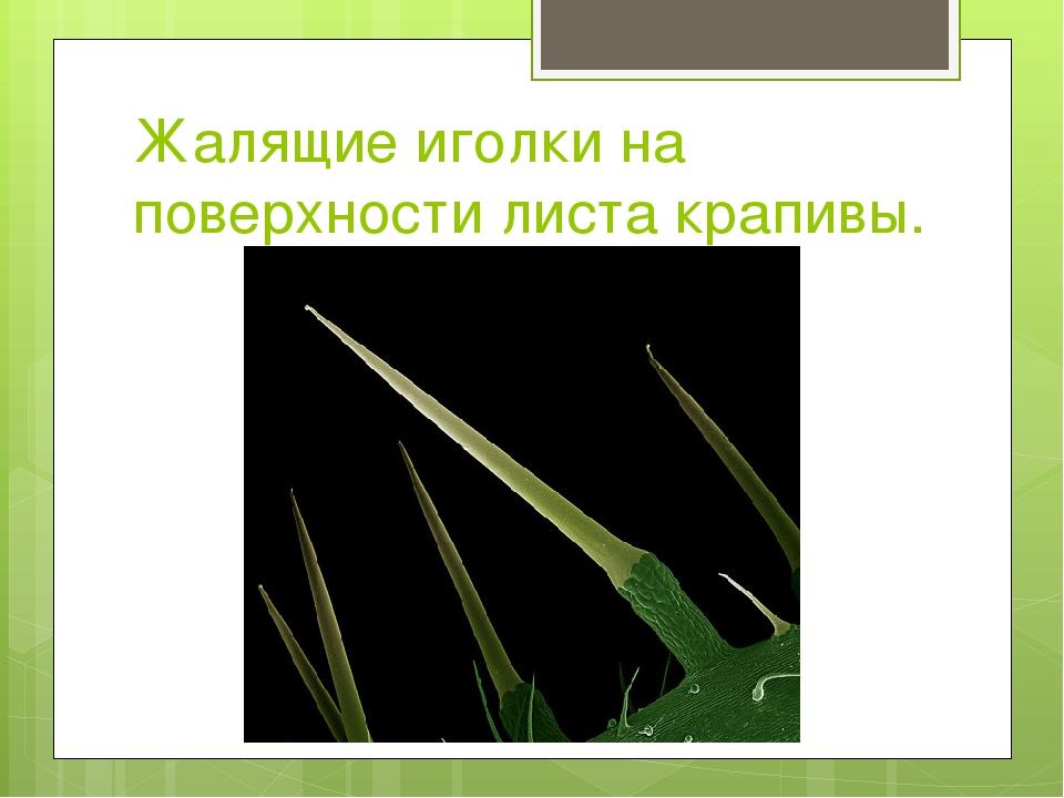Жалящие иголки на поверхности листа крапивы.