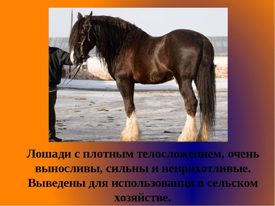 Лошади с плотным телосложением, очень выносливы, сильны и неприхотливые. Выве...