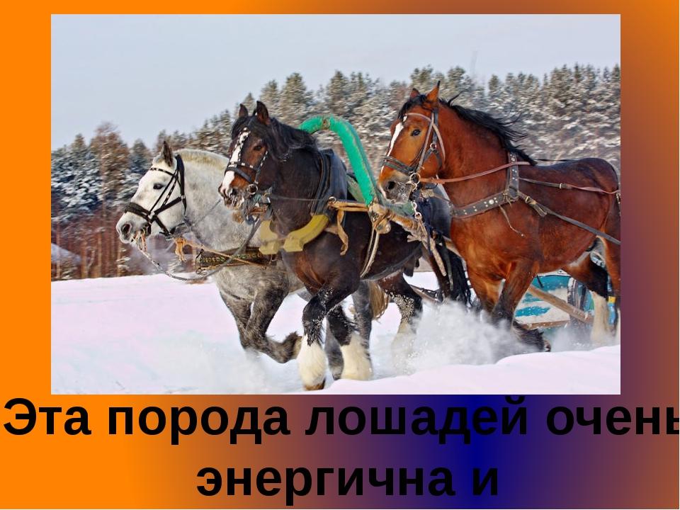 Эта порода лошадей очень энергична и темпераментна.