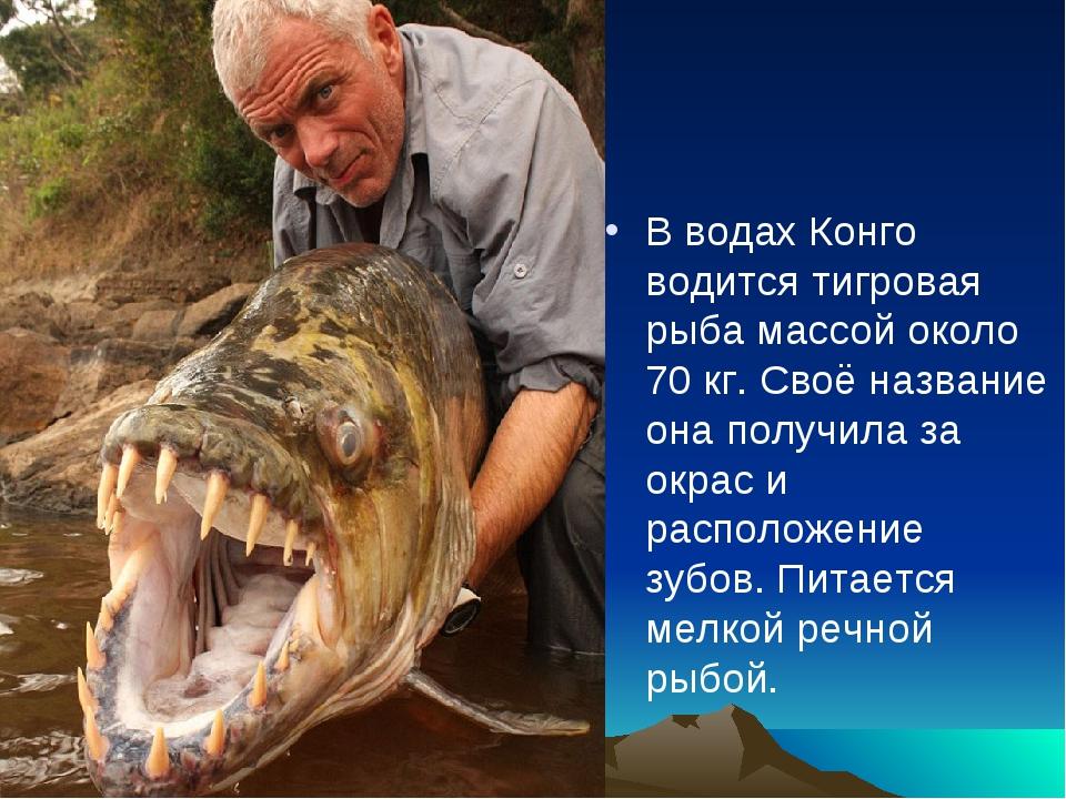 В водах Конго водится тигровая рыба массой около 70 кг. Своё название она пол...