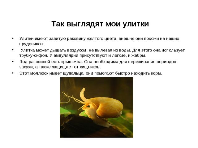 Так выглядят мои улитки Улитки имеют завитую раковину желтого цвета, внешне...