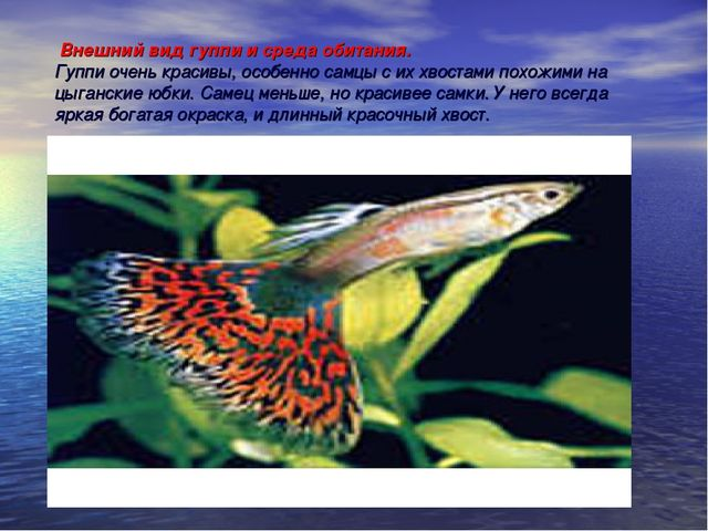 Внешний вид гуппи и среда обитания. Гуппи очень красивы, особенно самцы с их...