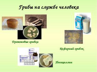 Грибы на службе человека Кефирный грибок Дрожжевые грибки Пенициллин