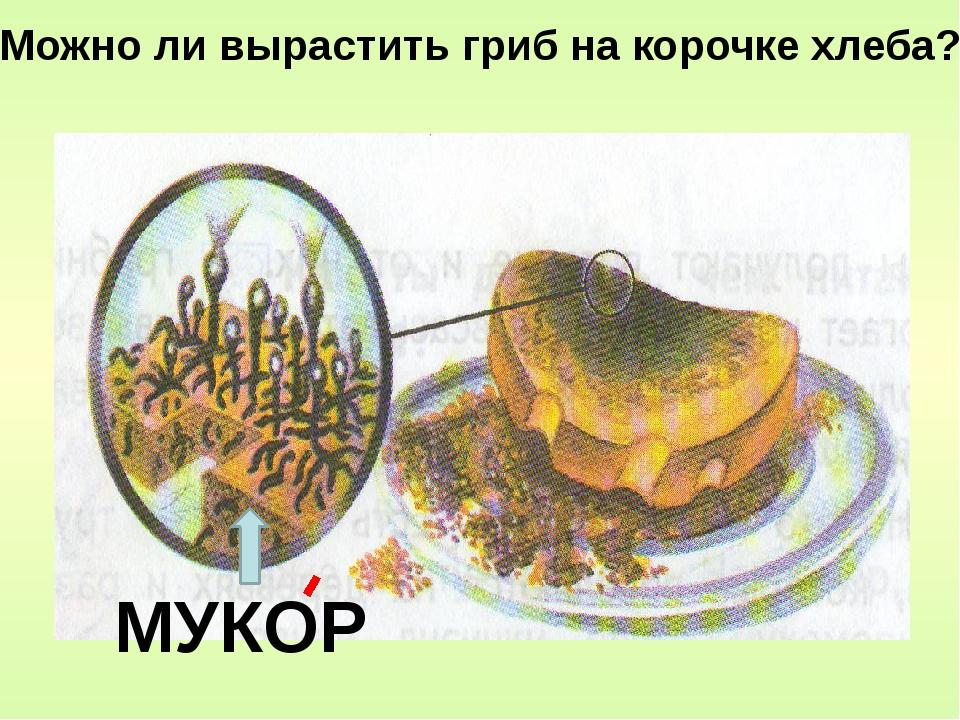 МУКОР Можно ли вырастить гриб на корочке хлеба?