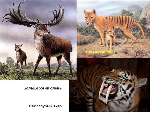 Большерогий олень Саблезубый тигр Сумчатый волк