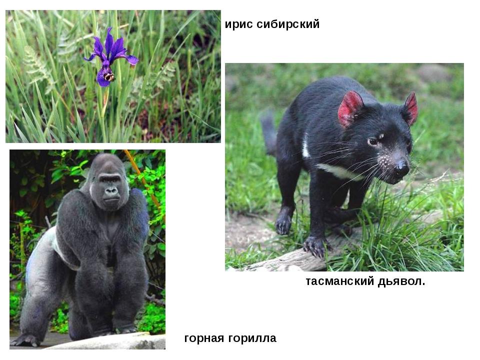 ирис сибирский тасманский дьявол. горная горилла
