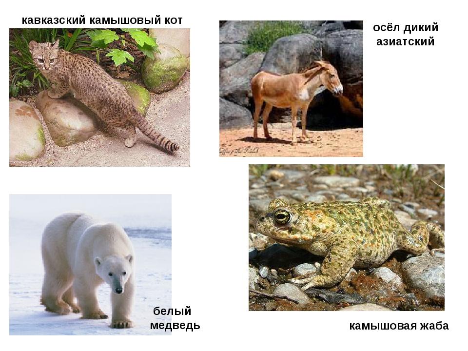 осёл дикий азиатский кавказский камышовый кот камышовая жаба белый медведь