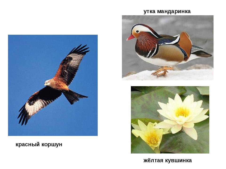 красный коршун утка мандаринка жёлтая кувшинка
