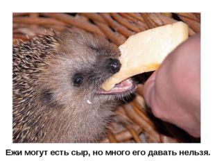 Ежи могут есть сыр, но много его давать нельзя.