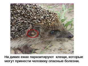 На диких ежах паразитируют клещи, которые могут принести человеку опасные бол