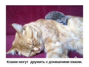 Кошки могут дружить с домашними ежами.