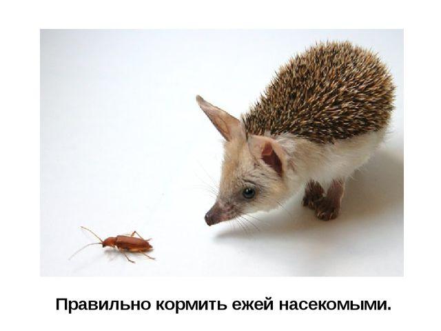 Правильно кормить ежей насекомыми.