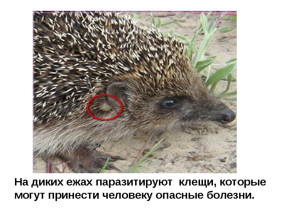 На диких ежах паразитируют клещи, которые могут принести человеку опасные бол...