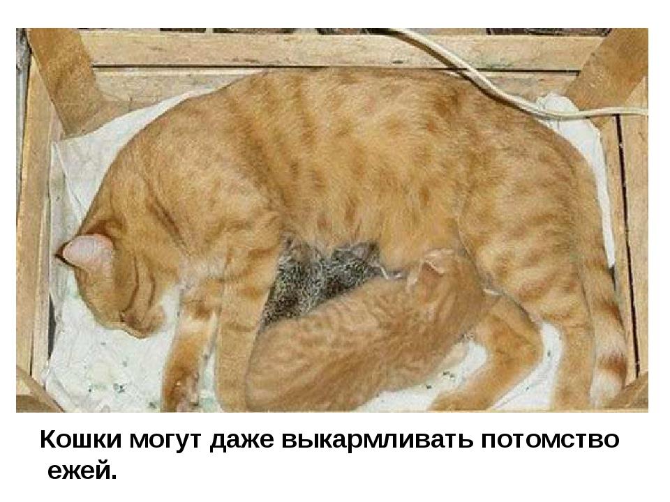 Кошки могут даже выкармливать потомство ежей.