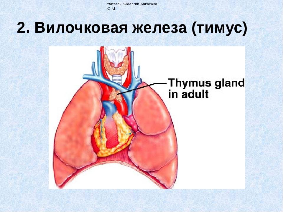 2. Вилочковая железа (тимус) Учитель биологии Ачкасова Ю.М. Тимус расположен...