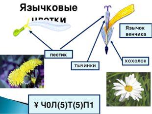 Язычковые цветки пестик Язычок венчика ↑Ч0Л(5)Т(5)П1