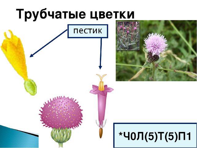Трубчатые цветки *Ч0Л(5)Т(5)П1