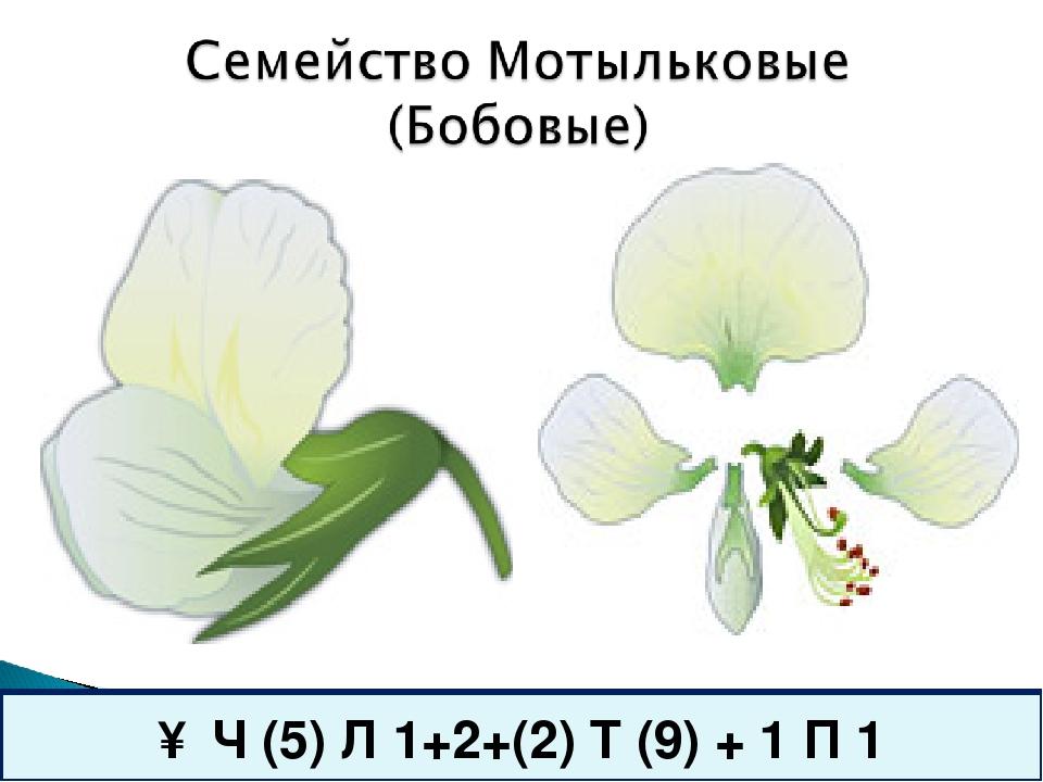 ↑ Ч (5) Л 1+2+(2) Т (9) + 1 П 1